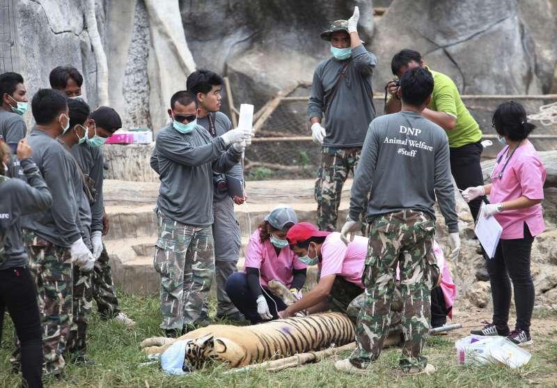 泰國政府掃蕩老虎廟,寺廟勒令停業,老虎全數移送。(AP)