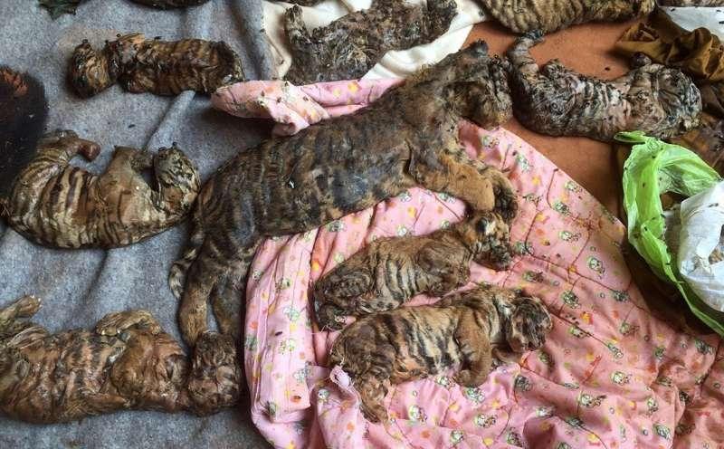2016年6月,泰國政府在老虎廟發現了40隻被冷凍的幼虎屍體(美聯社)