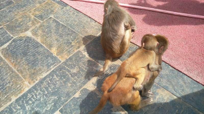 帕蘇帕提那神廟的小猴子。(圖/謝幸吟)