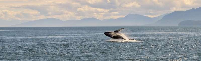 阿拉斯加海域的座頭鯨。Navin Rajagopalan攝(CC BY-SA 2.0)