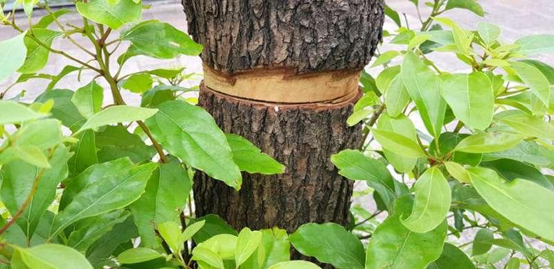 樹皮遭環狀剝皮,手法十分惡劣。(圖/張毅攝)