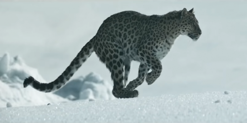 卡地亞的設計團隊必須細心研究美洲豹的各種生態、姿態,甚至設計了專門的委員會來交由最能近身看見美洲豹的專家進行把關(圖 / 擷取自卡地亞官網)