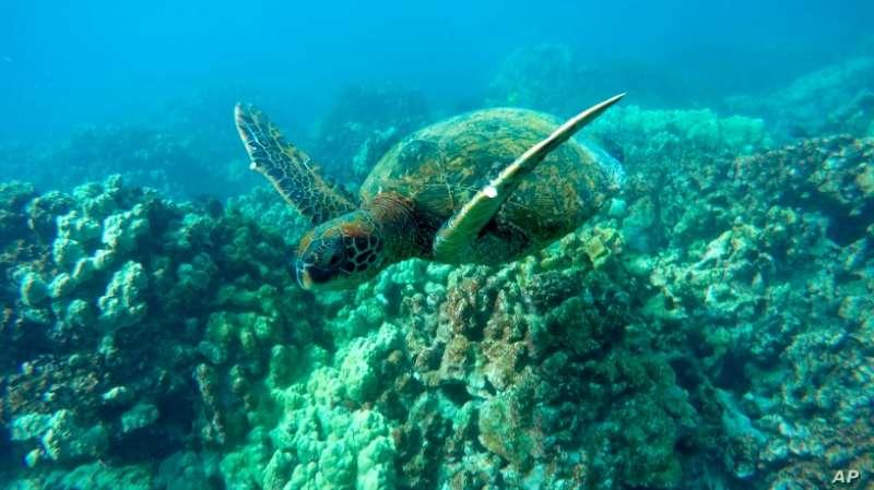 全球暖化效應讓海龜的性別比例嚴重失衡。(AP)
