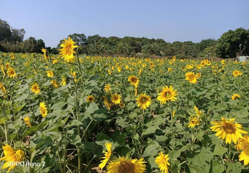 新豐鄉公所及農會在台15沿線種植五公頃的大波斯菊與向日葵花海。(圖/新豐鄉公所提供)