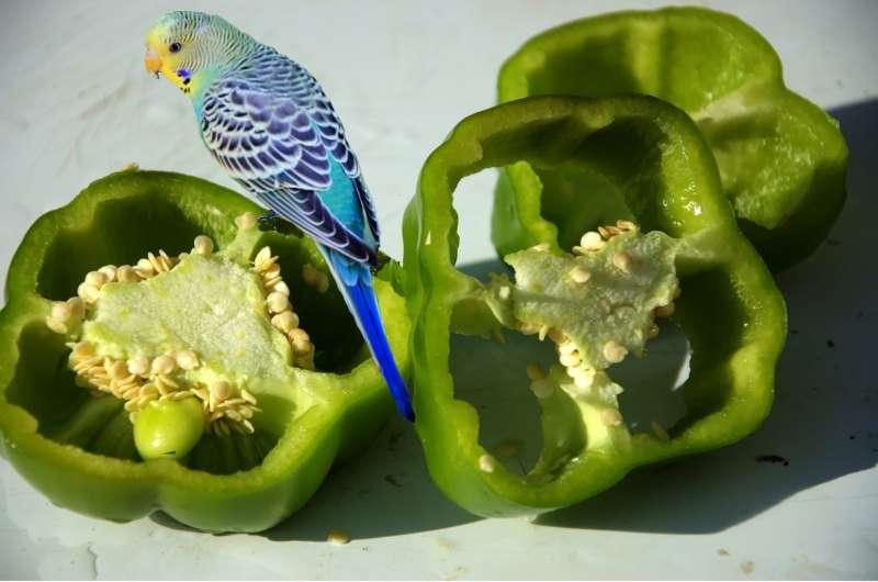 鳥類不怕辣。(Juanita Mulder@Pixabay)