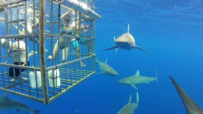 鯊籠潛水是相當熱門的海洋觀光行程,遊客可在特製籠子內近距離觀賞大型鯊魚。(kalanz@wikipedia_CCBY-SA2.0)