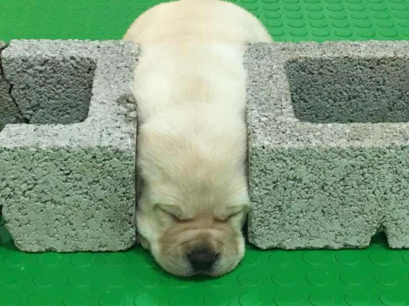 近期有4到5胎的拉不拉多緝毒犬幼犬誕生,原寄養家庭數量無法支應,海關對外徵求寄養家庭。(取自海關緝毒犬臉書)