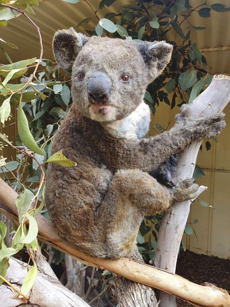 澳洲野火讓許多動物受害,這是無尾熊(AP)