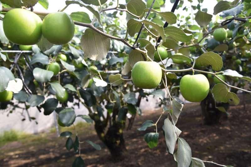今年農曆新年提早,蜜棗多數產量落於農曆年後。(圖/徐炳文攝)