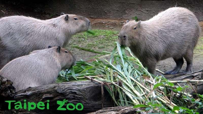 台北市立動物園的水豚,2020年除夕「圍爐」(台北市立動物園)