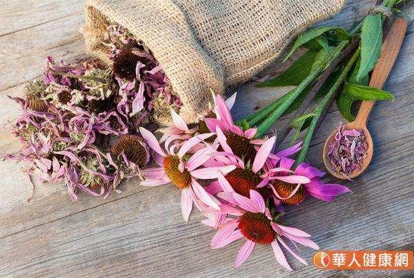 紫錐花又可稱為紫錐菊,其含有酚酸、多醣體及烷醯胺等機能性成分,具有抗氧化及清除自由基功能,可做為調節免疫系統及上呼吸道感染等使用,有利減緩症狀、縮短病程。(圖/華人健康網)
