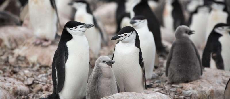 與1971年紀錄比較,頰帶企鵝數量減少58%。(圖截自綠色和平官網)