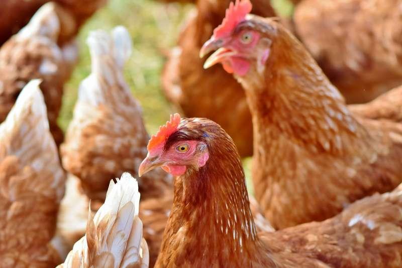 雞,母雞。(取自pixabay)