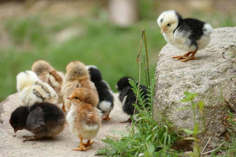 雞,小雞。(取自pixabay)