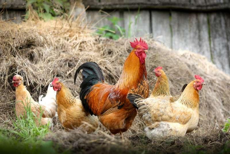 雞,公雞母雞。(取自pixabay)