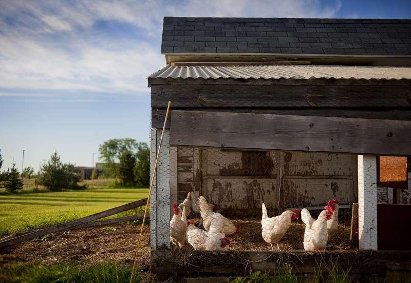 雞,雞舍。(取自pixabay)