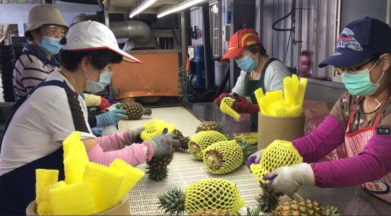 南友農合作社於12日鳳梨出口日本400箱、大陸960箱,2月14日出口大陸1680箱。合計3天內,高雄鳳梨出口43.8公噸。(圖/徐炳文攝)
