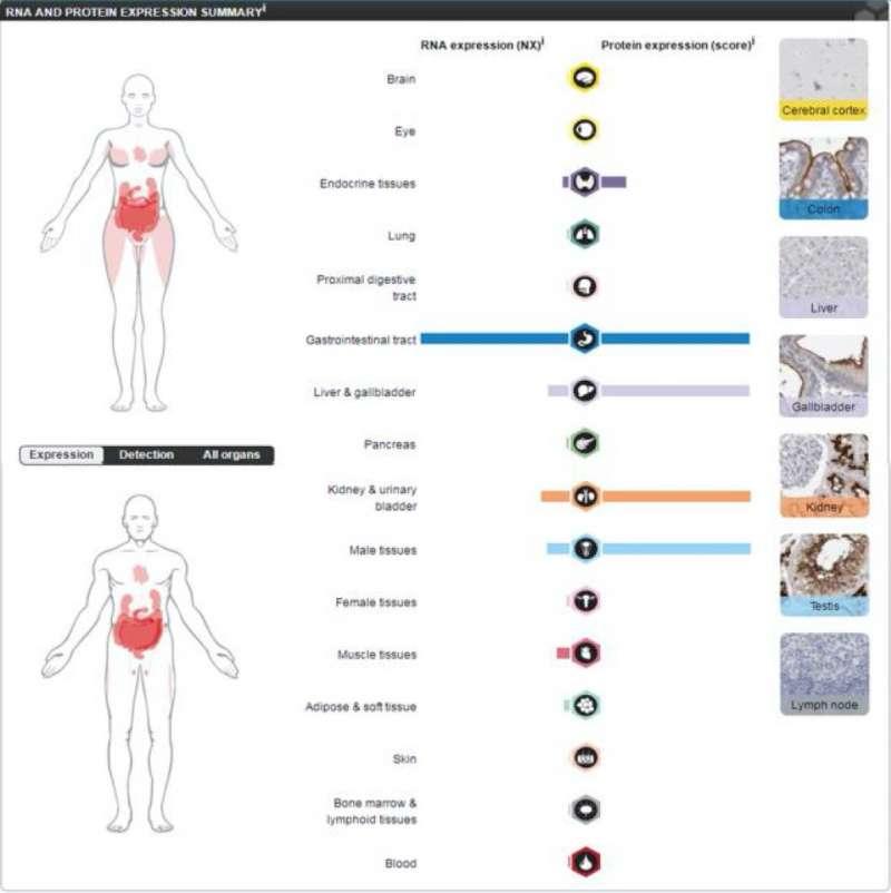 ACE2在不同人體器官中的蛋白質表現狀況。(翻攝論文)