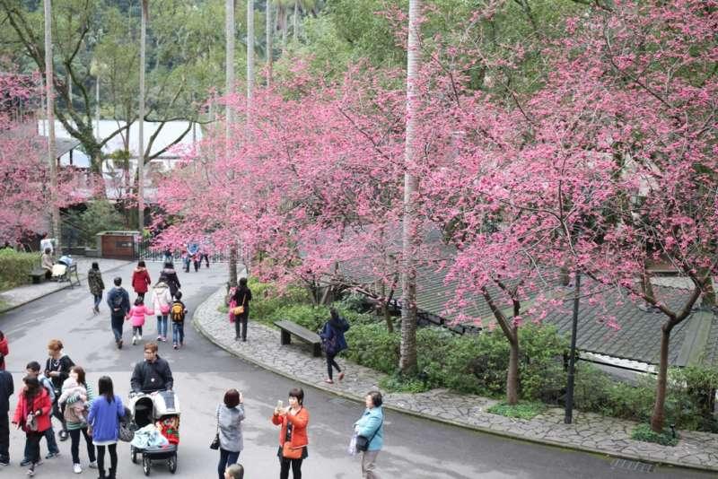 園區內大片櫻花已綻放,等待有緣人與之花下共舞。(圖/大板根森林溫泉酒店提供)