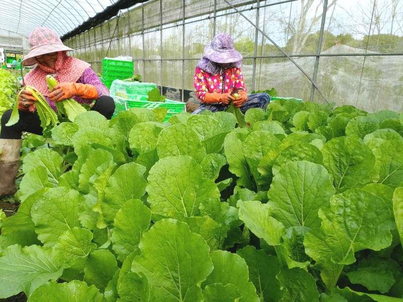 農友們歡喜採收原本供應學校營養午餐的有機蔬菜。(圖/里仁提供)