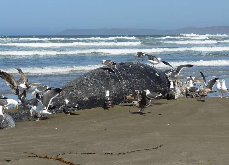 海鳥正在啄食一頭擱淺死亡的灰鯨屍體。(docentjoyce@flickrCC)