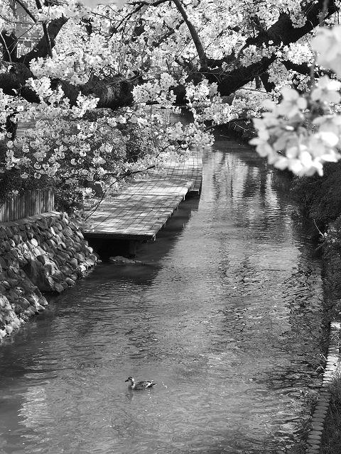 日本、櫻花溪流 (遠足文化提供)
