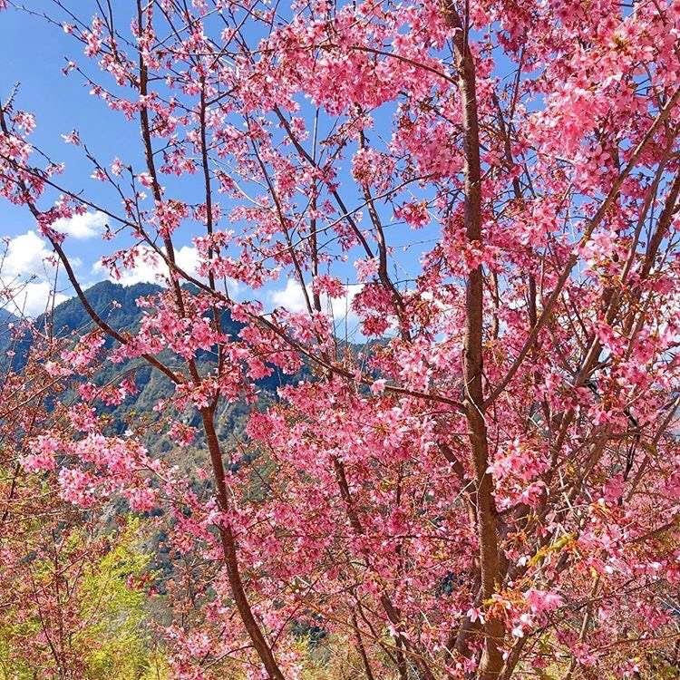 司馬庫斯櫻花盛開,許多遊客趁著好天氣上山,美景盡收眼底。圖/IG: angelchiuuuu