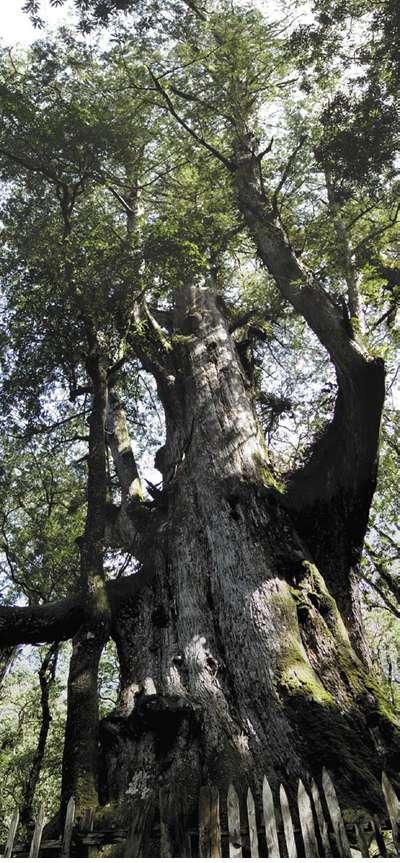 司馬庫斯一帶的山區蘊藏有20多棵千年神木群,其中最大的1棵紅檜神木就是老爺神木,親眼見到超震撼! 圖/行政院農業委員會