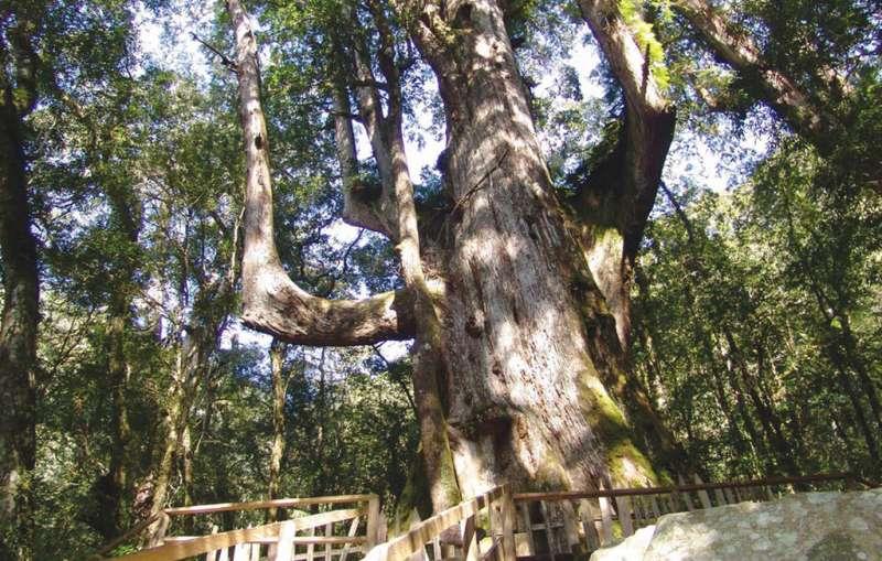 神木群相當珍貴,走在山林間,微風吹來帶有一股淡淡的紅檜木香味,陶冶心靈且身心舒況。 圖/新竹縣政府