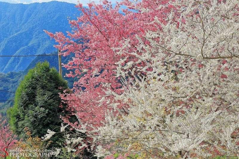 昭和櫻花盛開,看起來像粉紅雪花漫舞天際。圖/IG: swallowphoto