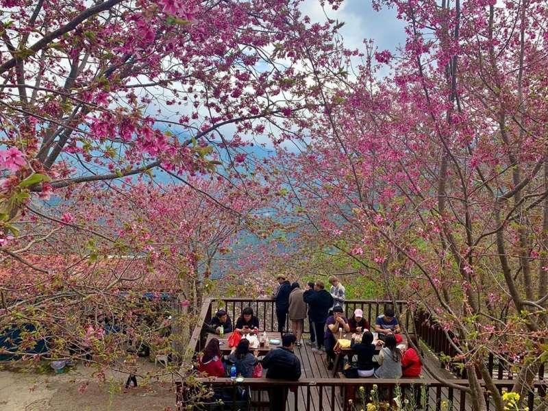 許多民眾搶在4年1度的229上山賞櫻,遊客更是喜歡在這裡與櫻花合照。圖/hi_xinying