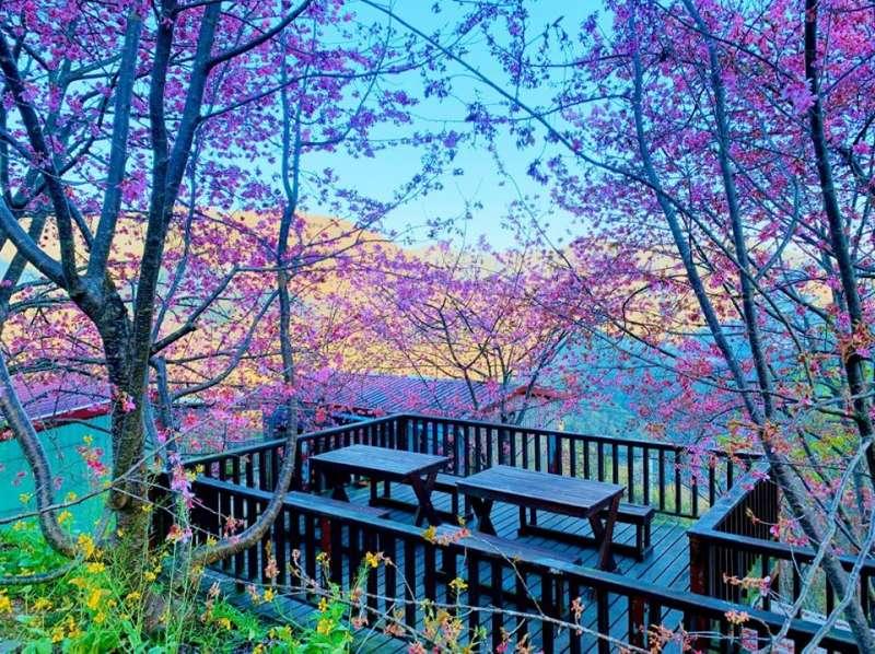 財伯觀光果園最知名的私房角落,許多遊客總愛在這個平台與櫻花合照。圖/財伯觀光果園臉書粉專