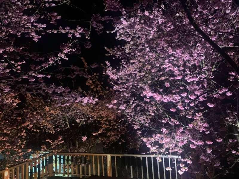 財伯觀光果園清晨夜晚賞櫻,都有不同風味。圖/財伯觀光果園臉書粉專