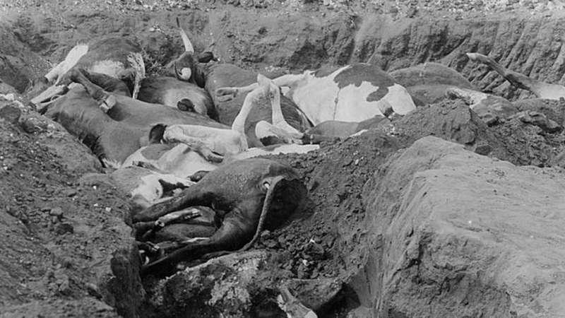 c08非洲牛瘟直接導致大範圍饑荒,使歐洲殖民擴張易如反掌。(圖/BBC News)