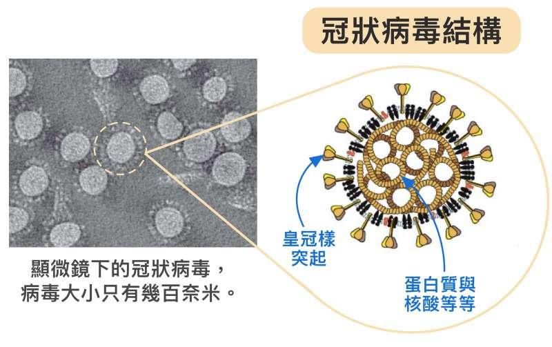 2冠狀病毒體型不但非常微小,只有幾百奈米,外表為薄殼,具有特殊皇冠樣突起,內部中空,裝著密度高的蛋白質、基因等。病毒藉由宛如超迷你戰艦的構造,將蛋白質、核酸送入人體並綁架細胞。(圖/研之有物)