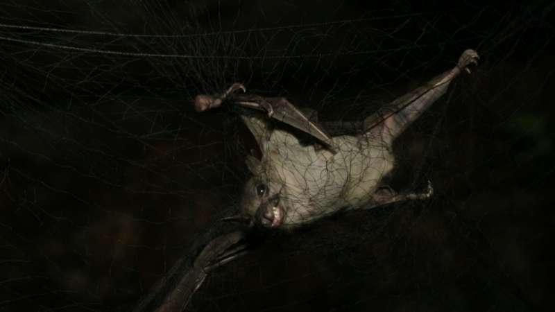 疫情爆發時,蝙蝠總是被列為嫌疑犯,事後也證明,牠大多數時候沒有被冤枉。(圖/公視提供)