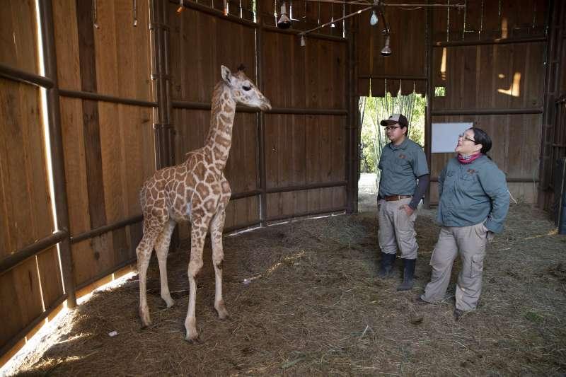 受新冠肺炎疫情影響,全球各地動物園紛紛暫停營業,圖為瓜地馬拉的奧羅拉動物園(La Aurora Zoo )。(AP)