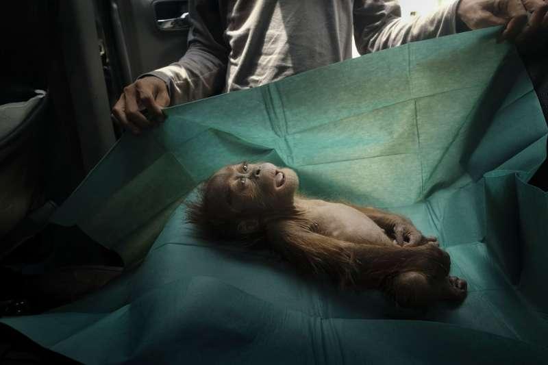 2020世界新聞攝影大賽,Alain Schroeder所攝的蘇門答臘猩猩遺體照〈最後的訣別〉獲「自然生態類-單圖」一等獎。(AP)