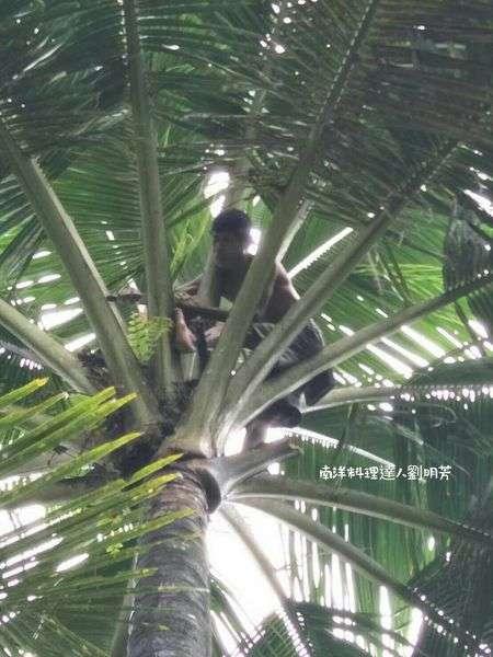 椰農一早爬到椰子樹上取椰子花之液(圖/劉明芳 提供)