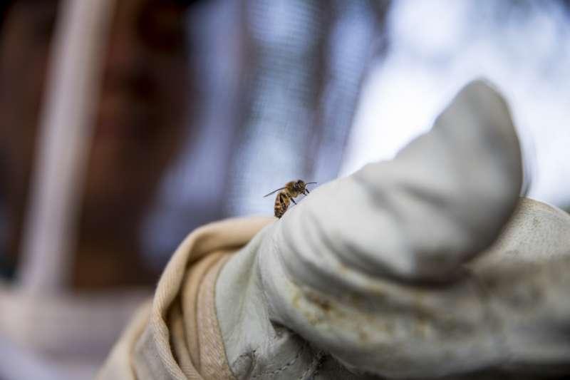 蜜蜂所扮演的授粉者,是生態系統中不可或缺的重要角色。(AP)