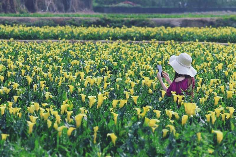 外埔海芋田的花是金黃色的,與陽明山海芋不同。(圖/IG@3more_hi4)