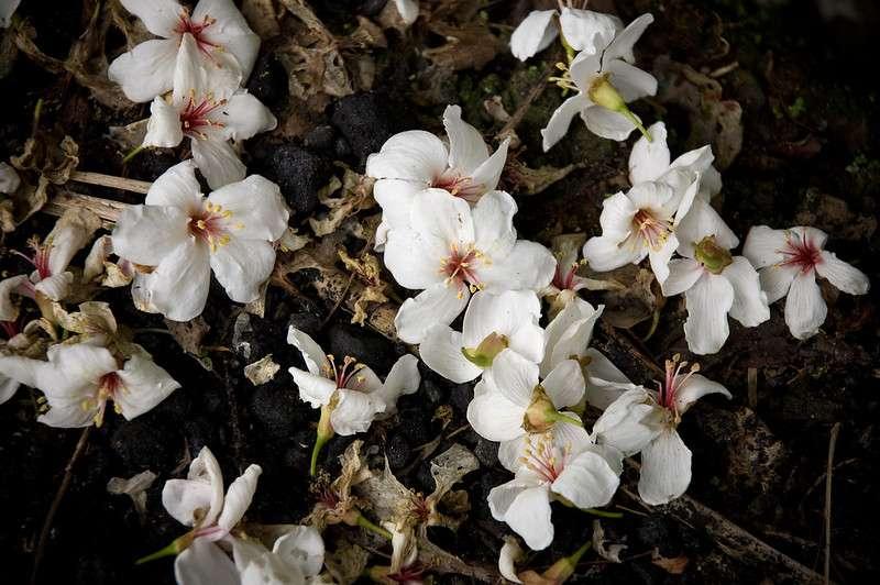 每年4月、5月是全台油桐花盛開季節,你準備好了嗎?(圖/flickr@黃 zero)