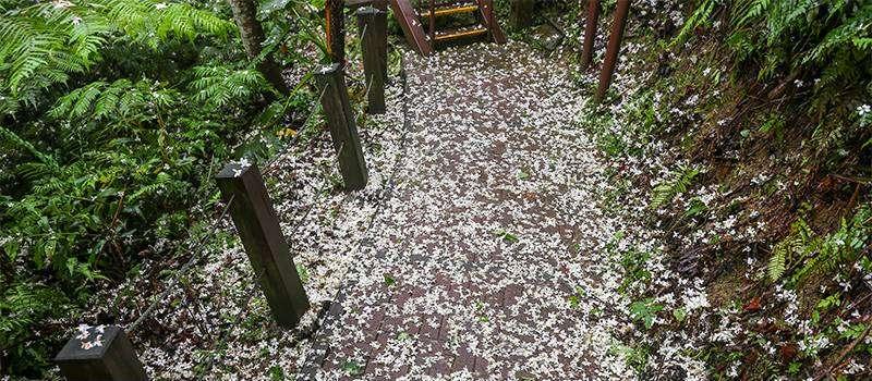 土城桐花公園被油桐花鋪了滿地,彷彿剛下過一場雪。(圖/取自新北市觀光旅遊網)