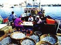 丁香魚是澎湖赤崁地區名產,盛產時經常可見一尾尾晶瑩剔透的丁香魚滿地曝曬(圖片來源:白沙鄉公所)
