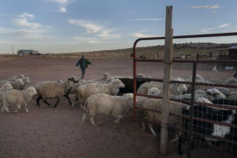 納瓦霍族保留地缺乏水資源,農民必須為牲口找水。(美聯社)