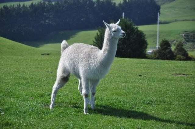 大羊駝(Lama glama)。(圖/取自網路)