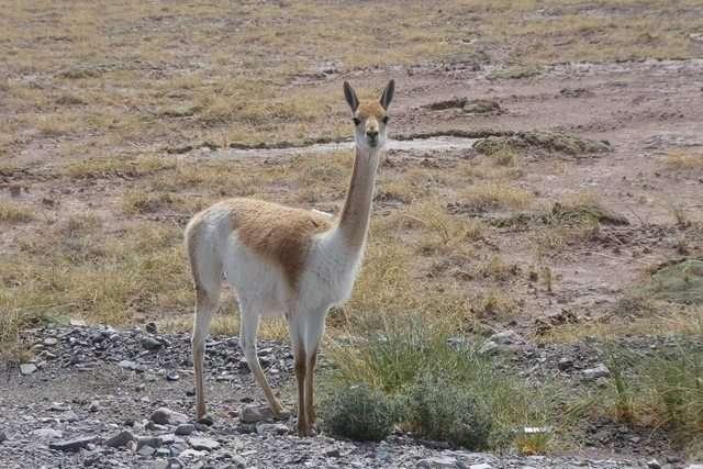 小羊駝(Vicugna vicugna)。(圖/取自網路)