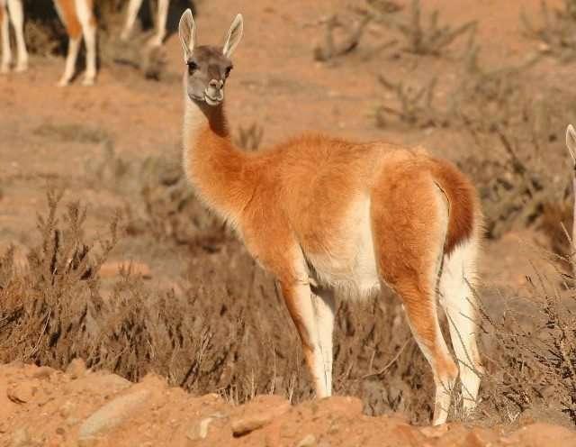 原駝(Lama guanicoe)。(圖/取自網路)