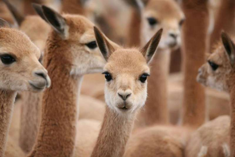 圖一 小羊駝毛產量稀少, 一隻兩年一次只能產出200公克,也被稱為神之纖維。(圖/取自Loro Piana官方粉絲頁)
