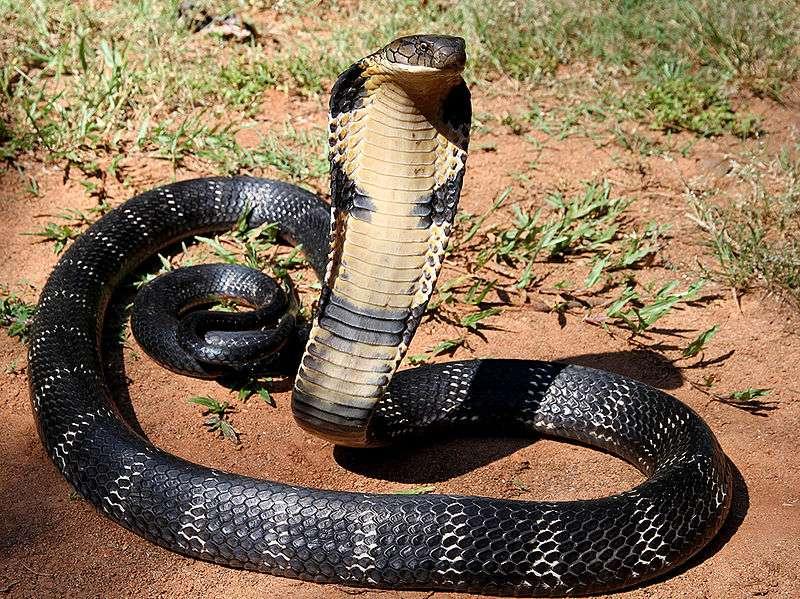 圖三 眼鏡王蛇只要少量毒液就能帶來致命傷害,有著治療病症的正面效果。(圖取自Wikispecies網站)